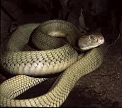 gjarper